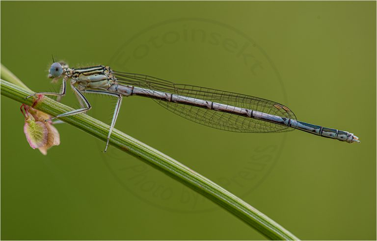 Platycnemis pennipes ♂