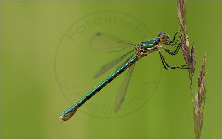 Lestes viridis ♀