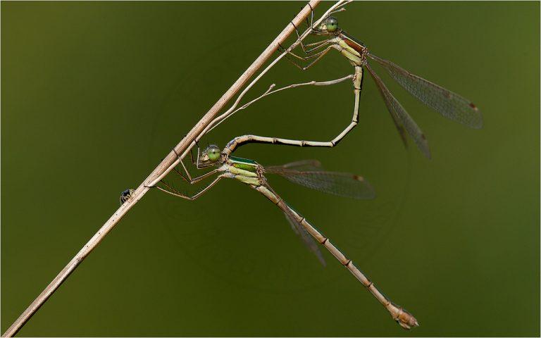 Lestes barbarus ♀♂