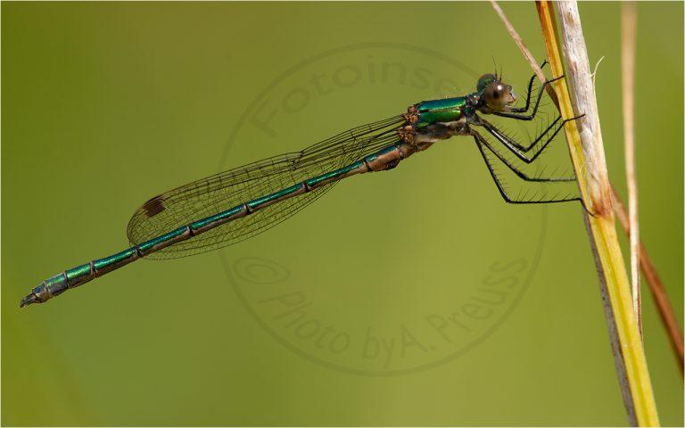 Lestes viridis ♂