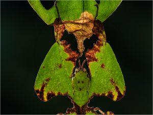 Phyllium bioculata