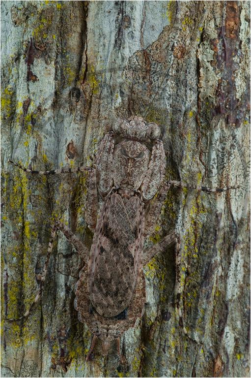 Humbertiella ceylonica ♀