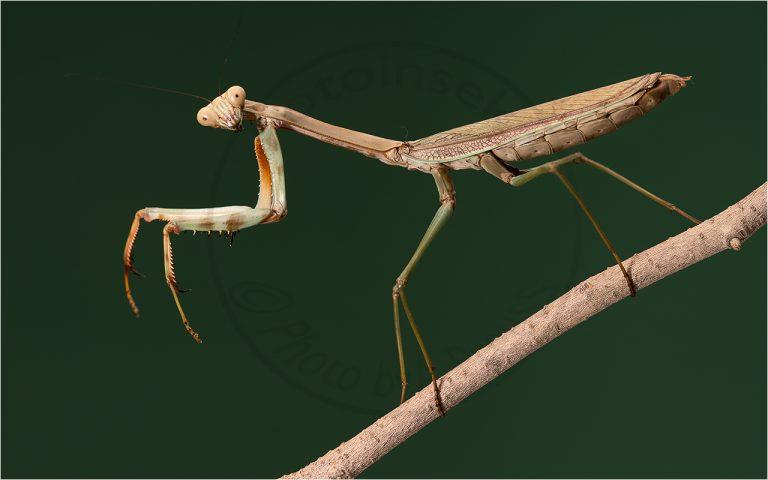 Plistospilota guinensis ♀