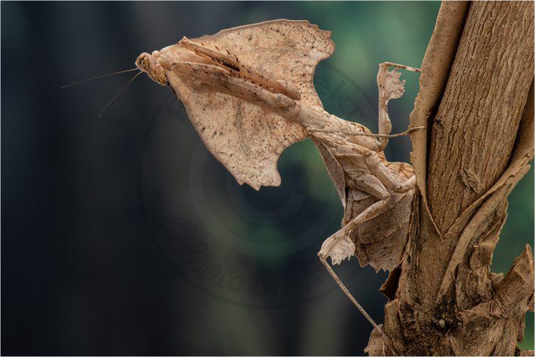 Deroplaty trigonera ♀