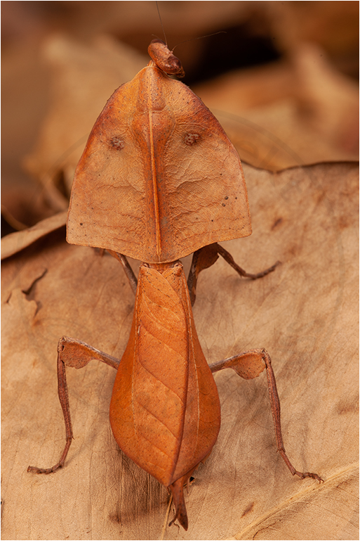 Deroplatys truncata ♀