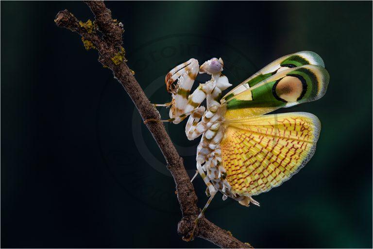 Childonoptera lestoni ♀