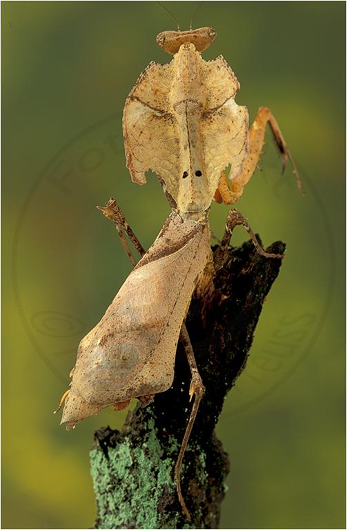 Totes Blatt Mantis