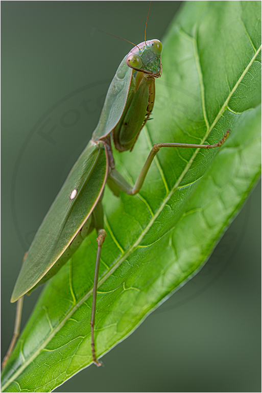 Grüne Schildmantis