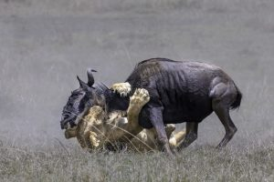 Fischer_Jie_Usa_Lion-Hunting-1_AXSMEAFB_2108_232623_W1